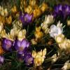 Çiğdem Çiçeğinin Vücuda Faydaları