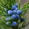 Ardıç Meyvesinin Faydaları