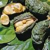 Kola Ağacı Meyvesinin Sağlığa Faydaları