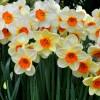 Nergis Çiçeğinin Faydaları