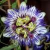 Mavi Çarkıfelek Bitkisi (Passiflora)