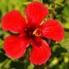 Hibiskus Bitkisinin Faydaları