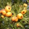 Alıç Bitkisi (Hawthorne Berry)