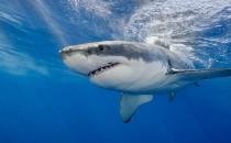 Köpek Balığı Karaciğeri Yağı (SHARK LİVER OİL)