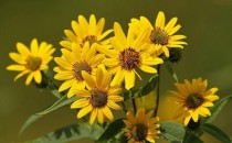 Arnika Çiçeği Kreminin Faydaları