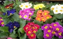 Çuha Çiçeği (Evening Primrose)
