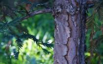 Çam Kabuğu (Pycnogenol) Faydaları